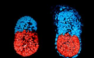 Искусственный эмбрион от британских ученых